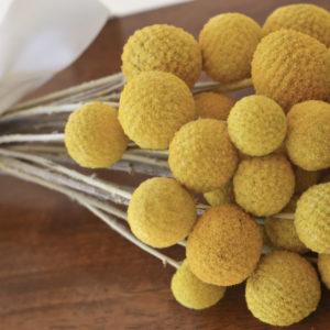 Preserved yellow billy balls